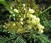 Acacia (Mearnsii blossoms)