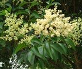 Alfaneiro (Ligustrum lucidum)