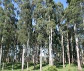 Eucalipto (Eucalyptus spp.)