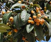 Nêspera (Eriobotrya japonica)
