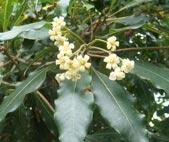 Pau-incenso (Pittosporum undulatum)