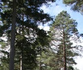 Pinus (Pinus spp.)