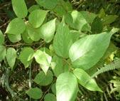 Uva-do-japão (Hovenia dulcis<em)