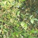 Sassafras (Ocotea odorifera)