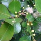 Araçá (Psidium cattleianum)
