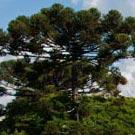 Araucária (Araucaria angustifolia)