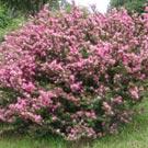 Caliandra (Calliandra brevipes)