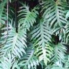Costela-de-adão (Philodendron bipinnatifidum)