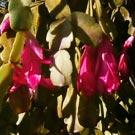 Flor-de-maio (Hatiora gaertneri)