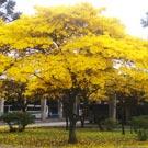 Ipê Amarelo (Handroanthus serratifolius)