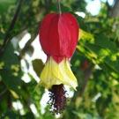 Lanterninha (Abutilon megapotamicum)